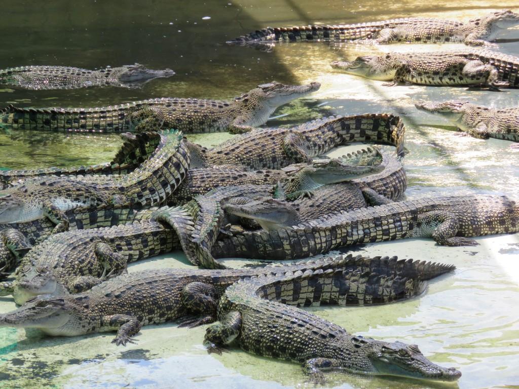 verschil alligator en krokodil